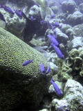Creole Wrasse Swimming Into Shot 2