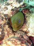 Green Moray in his Hole