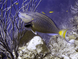 Parrotfish Eating Coral 2