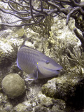 Parrotfish Eating Coral 3