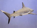 Reef Shark Swimming Away