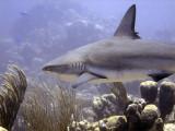 Reef Shark Swimming Past 2