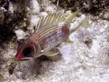 Resting Squrrielfish