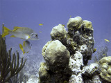Schoolmaster Fish and Coral Bommie