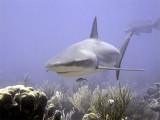 Shark Swimming Into Shot
