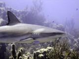 Shark Swimming Past