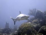 Shark Swimming Into Shot 2