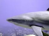 Shark Swimming Past 4