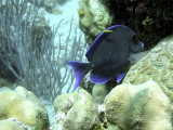 Surgeon Fish Over Hard Coral Being Cleaned 2