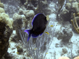 Surgeon Fish Over Hard Coral Being Cleaned 3