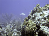 Underwater Scene with Pale Grouper in Background