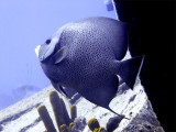 Queen Angelfish at Thunderdome
