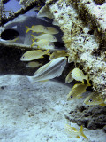 Sheltering Grunts and Parrotfish