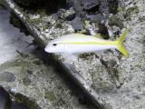 Swimming Catfish