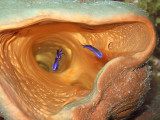 Blue Chromis in Pink Barrel Sponge