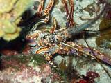 Concealed Lobster