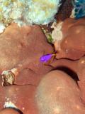 Fairy Basslet Over Sponge