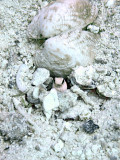 Jawfish in Hole