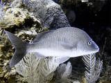 Schoolmaster Fish From Side