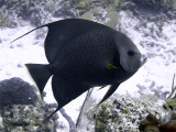 Black Angelfish From Side