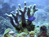 Blue Chromis and Staghorn Coral