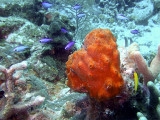 Blue Chromis Around Orange Sponge