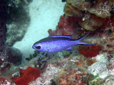 Blue Chromis From the Side