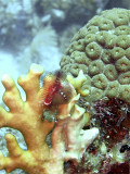 Christmas Tree Worms Growing From Fire Coral