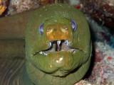 Green Moray Eel Full Frontal 2