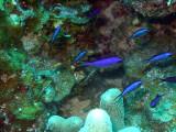 Group of Blue Chromis