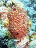 Knobbly Sponge