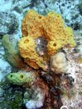 Knobbly Yellow Sponge
