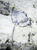 Stingray From Behind