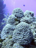 Hard Coral Formation