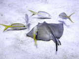 Ray  Scrounging Yellow Tailed Snappers
