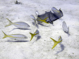 Ray  Scrounging Yellow Tailed Snappers 2
