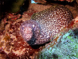 Spotted Moray Eel  Cleaner Wrasse 3