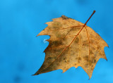 Sycamore Leaf in the Fountan Pool