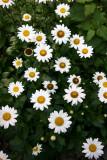 Daisies - Residence Garden