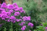 Phlox & Tamarisk Blossoms