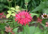 Garden View - Bee Balm
