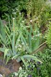 Garden Plot - Cilantro Blossoms