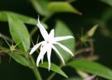 Jasmin Blossom