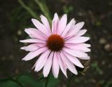 Echinacea Blossom