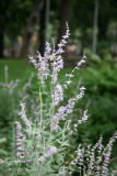 Garden View - Russian Sage or Salvia