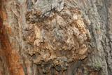 Black Locust Tree Bark