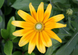 Rudbeckia or Cone Flower
