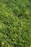 Dandelion & Cone Flower Hillside
