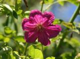 Miniature Clematis - Rose Garden