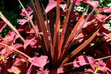 Coleus & Variegated Yucca - Rose Garden